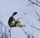Heron on the tree Royalty Free Stock Image