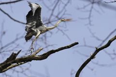 Heron on the tree Royalty Free Stock Photography