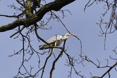 Heron on the tree Royalty Free Stock Photos