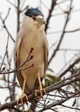Heron in Tree Royalty Free Stock Image