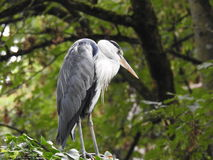 A heron on a tree branch Stock Image