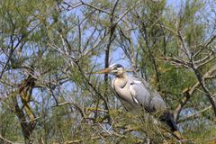Heron in a tree royalty free stock photo