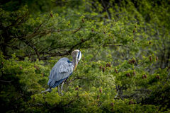 Heron in tree preens itself. Royalty Free Stock Photos