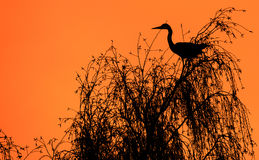 Heron in a tree Royalty Free Stock Images
