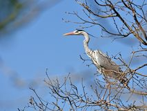 The heron in the tree trunk Stock Image