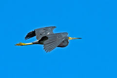 - heron tricolored Fotografia Stock