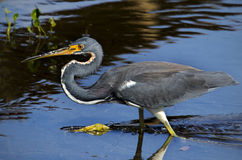 - heron tricolored Obrazy Royalty Free