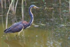 - heron tricolored Zdjęcie Stock