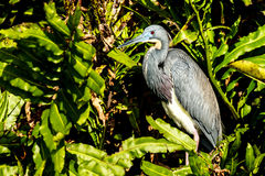 - heron tricolored Zdjęcia Royalty Free