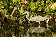 - heron tricolored Fotografia Stock