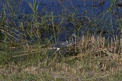 - heron tricolored Zdjęcie Royalty Free
