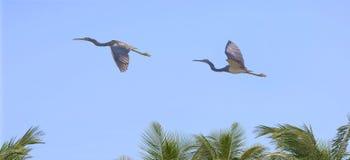 - heron tricolored lotu Fotografia Royalty Free