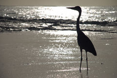 Heron on a tropical beach. Gangehi island, Maldives Stock Photography