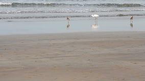 Heron on a tropical beach. Heron on a tropical sea beach stock video footage