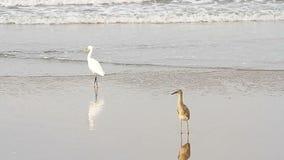 Heron on a tropical beach. Heron on a tropical sea beach stock footage