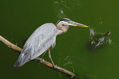 Heron and Turtle Royalty Free Stock Image