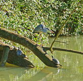 Heron and turtles Royalty Free Stock Photo