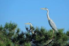 Heron. Two herons stand on pine tree. Scientific name: Ardea cinerea Stock Image