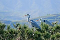 Heron. Two herons stand on pine tree. Scientific name: Ardea cinerea Royalty Free Stock Images
