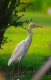 Heron in Victoria memorials' park. Kolkata, India Royalty Free Stock Photography