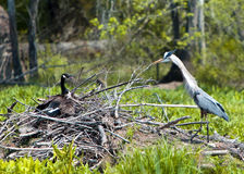 Heron vrs Goose Stock Image