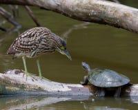 Heron vs Turtle. Juvenile Black Crown Night Heron facing off with a turtle Stock Photo