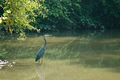 Heron Wading  Royalty Free Stock Photos