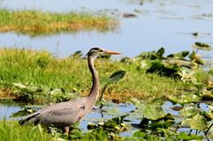 Heron, wading bird Stock Photo
