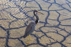 Heron wading in Florida swamp. Tricolor heron a.k.a. Egretta tricolor wading in florida swamp royalty free stock image