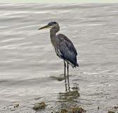 Wading Bird  Stock Photos