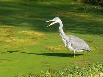 Heron wading in pool thick with green algae. In the early morning sunshine Stock Photography
