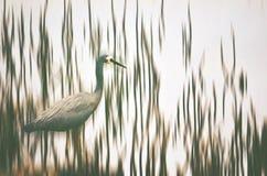 Heron wading through reeds. Australian White-faced Heron, Egretta novaehollandiae, wading through Shoalhaven River reeds, NSW, Australia. Digital photo Stock Photos