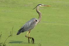 Heron. Wading and watching for the enemy Royalty Free Stock Photos