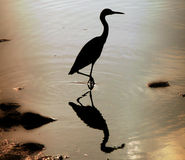 Heron Wading in Water. Silhouette of a heron wading at the edge of the water at sunset...dramatic reflection in the water royalty free stock photography