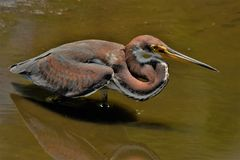 Heron wading in water with reflection Royalty Free Stock Photos