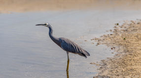 Heron on the waer's edge Stock Image