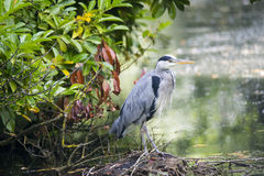 Heron Royalty Free Stock Image