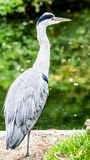Heron waiting for a fish in the lake Royalty Free Stock Photos