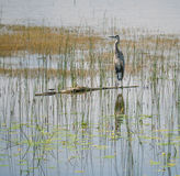 Heron waiting for food Royalty Free Stock Photography