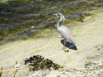 A Heron Waits For Lunch To Swim By Royalty Free Stock Photos