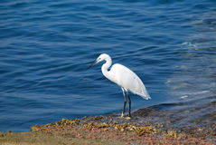 Heron walking along-shore Royalty Free Stock Photography