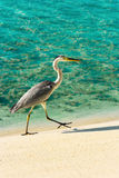 Heron walking on a beach Royalty Free Stock Photography