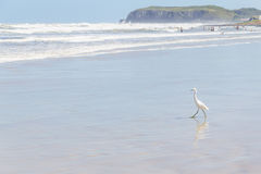 Heron walking at the beach Stock Photography