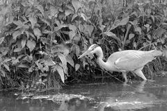 A heron is walking in a brook in Lille (France) Royalty Free Stock Photography