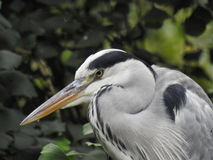 A heron walking Stock Photo