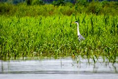Heron walking on the lake among the undergrowth stock image