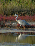 Heron walking in marsh Stock Photography