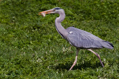 A Heron walking with prey Stock Photo