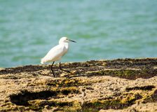 Heron walking on the seashore. The walk of the heron by the sea in a photograph captured on the beach of Guarapari, in the State of Espírito Santo, Brazil stock photos
