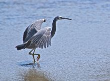 Heron walking through water. A heron wades through a tidal pool looking for food Royalty Free Stock Photography